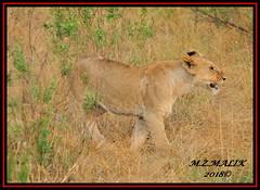 YOUNG SUB-ADULT MALE CUB (Panthera leo)  ......MASAI MARA......SEPT 2018 (M Z Malik) Tags: nikon d3x 200400mm14afs kenya africa safari wildlife masaimara keekoroklodge exoticafricanwildlife exoticafricancats flickrbigcats leo lions ngc npc