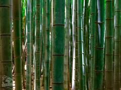 Bambouseraie d'Arashiyama (Coeur de nomade) Tags: kyoto japon2018 asie asiedelestorientale continentsetpays asia asieorientale jp jpn japan eastasia
