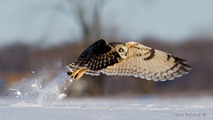 Sustenance (Earl Reinink) Tags: owl shortearedowl snow winter outdoors nature wildlife flight flying birdinflight hunter predator raptor movement earlreinink earl reinink iiodhdudaa