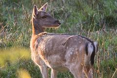 Fallow Deer Dama dama A Backward Glance (Barbara Evans 7) Tags: fallow deer dama female new forest hants uk barbara evans7