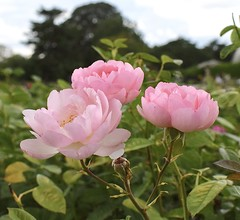Rose - Skylark (MJ Harbey) Tags: garden flower rosegarden rosa rose rosaceae skylarkrose pinkrose kew kewgardens london unescoworldheritagesite worldheritagesite royalbotanicgardens royalbotanicgardenskew nikon d3300 nikond3300