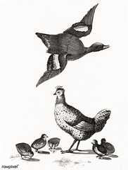 Chickens and a duck by Johan Teyler (1648-1709). Original from The Rijksmuseum. Digitally enhanced by rawpixel. (Free Public Domain Illustrations by rawpixel) Tags: animal antique art avian baby beak beautiful beauty bird chick chicken cock decor decoration decorative design drawing duck elegance feather feathers fly flying fowl hen illustrated illustration johanteyler life livestock mallard name natural nature old ornithology painting plumage plume poultry retro single species standing vintage waterbird wild wildlife wing wings tagcc0