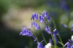 Bluebell      T-Planar 85mm F 1.4 (情事針寸II) Tags: oldlens printemps spring closeup nature bokeh fleur flower tplanar85mmf14