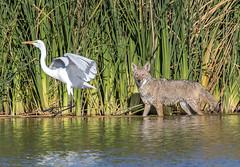 Coyote and Great Egret (Ed Sivon) Tags: america canon nature lasvegas wildlife wild western southwest desert clarkcounty vegas flickr bird henderson nevada park