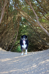 Dash on Guard Duty (JB by the Sea) Tags: sanfrancisco california october2018 fortfunston dog australianshepherd aussieshepherd aussie dash