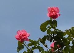 Concarneau Roses 1-1 (vern Ri) Tags: france fleur flora flowers roses fiori blumen pink nikon