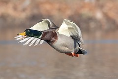 Happy Friday 😊 (Melinda G Pix) Tags: nature wings pond waterfowl bird flight fly drake mallard duck