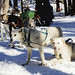 Sled dogs get a breather in the Rocky Mountain backcountry near the ski resort of Snowmass Village, Colorado. Original image from Carol M. Highsmith's America, Library of Congress collection. Digitally enhanced by rawpixel.