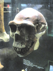 Homo Erectus Skull (edenpictures) Tags: hallofhumanorigins newyorkcity nyc manhattan skull americanmuseumofnaturalhistory amnh naturalhistorymuseum museum upperwestside