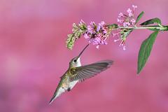 Ruby-throated Hummingbird (adbecks) Tags: hummingbird photography top 10 2018 nikon 300 pf
