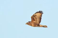 Buzzard (drbut) Tags: buzzard buteobuteo birdofprey raptor bird birds wildlife nature canonef600f4lisusm