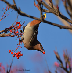 Waxwing (shaunmcdonagh) Tags: waxwing jarrow birds bird nature northeast