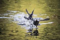 © Aves 2018 (Jesus Portal) Tags: 150500 60d agua asturias aves2018 canon casualidad color focha gijon instante natural otoño parque pic plumas sigma sinfiltro tele tonos water