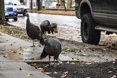 Brookline Turkeys (4 of 5) (kylesgibson) Tags: brookline boston massachusetts turkey turkeys bird