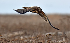 The look of determination... nothing is going to stand in my way!! (Snixy_85) Tags: harrier northernharrier circushudsonius
