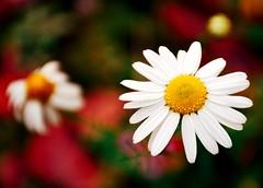 Oopsy Daisies (barbara_donders) Tags: natuur nature flowers bloemen daisies madeliefjes wit white colorful kleurrijk bokeh macro dof beautiful magical magisch mooi prachtig