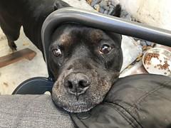 Bonnie (C-Monster) Tags: bonnie dog perro chien amstaff pitbull