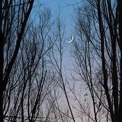Crescent Ascent (jaxxon) Tags: 2018 d610 nikond610 jaxxon jacksoncarson nikon nikkor lens pro multifarious nature nikkor70200mmf28e nikon70200mmf28e afsnikkor70200mmf28efledvr fledvr f28e 70200 70200mm 70200mmf28 f28 28 afs vr zoom telephoto trees winter moon moonlight crescent newmoon waxing waning gibbous lunar sky night evening twilight sunset branches lookingup outdoors reaching nighttime