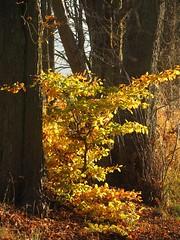 Im Mönchbruchwald (nordelch61) Tags: deutschland heimat mönchbruch hessen naturschutzgebiet rüsselsheim mörfeldenwalldorf wald baum bäume ast äste zweig zweige herbst blattfärbung