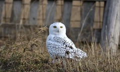 The Catch? (hd.niel) Tags: snowyowl owls hunting voles farmyard rural nature wildlife photography ontario nikon migration birds raptors 7cwindchill14c behavioural