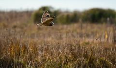 Distant hunter (wesleybarr1962) Tags: owl shortearedowl asioflammeus