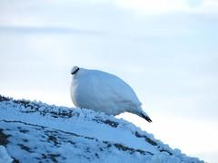 Ptarmigan, Bynack More (Mrs Butterbur) Tags: ptarmigan bynackmore cairngorms snow ice frost summit munro nationalpark scotland gb uk bird white winter plumage mountain