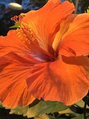 💜 (kirsten.eide) Tags: detail milwaukee flowers macro iphone