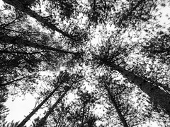 Can't get enough (Wicked Dark Photography) Tags: bw wisconsin autumn blackandwhite canopy fall forest monochrome nature pinetrees trees woods