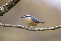 nuthatch perched (G_Anderson) Tags: missouri yard birds birding backyard winter urban red breasted nuthatch migration irruption