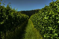 vines and more vines (glasnevinz) Tags: newzealand wairarapa martinborough vinyard moyhall