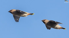 Double Trouble (Mick Erwin) Tags: waxwing flying inflight nikon afs 600mm f4e fl ed vr lens tc14e teleconverter iii d850 mick erwin stoke trent staffordshire wildlife nature