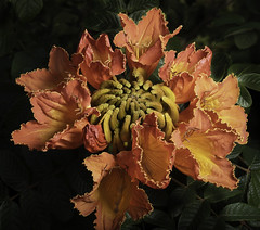 Yellow And Orange In The Light (Bill Gracey 23 Million Views) Tags: fleur flower flor light lighting offcameraflash yongnuo yongnuorf603n softbox lastoliteezbox garden fallbrook darkbackground spathodeacampanulata africantuliptree sidelightting color colorful orange yellow