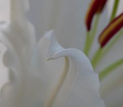 Lilja, Lilium (karinwigroth) Tags: lilja lilium doft sent vit white flower blomma trädgård garden