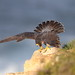 Ready to go (charlescpan) Tags: female peregrine falcon xena