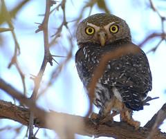 Pearl-spotted Owlet (Glaucidium perlatum) (berniedup) Tags: auob kgalagadi pearlspottedowlet glaucidiumperlatum owlet taxonomy:binomial=glaucidiumperlatum matamata