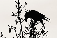 Les miettes - B&W Ombre chinoise (Elisabeth Lys) Tags: blackwhite noirblanc bird bicolore oiseau nature ombre ombrechinoise d7200 150600mm sigma contemporary wildsilhouettes shadows