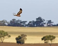a2U7A2784_sml (ozenigma61) Tags: spottedharrier harrier raptor birdofprey birdinflight
