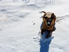 Snow belly dog (simonov) Tags: bella dog hund chien 狗 σκύλοσ madra cane 犬 perro 개 سگ собака الكلب germansheprador snow winter peavine reno