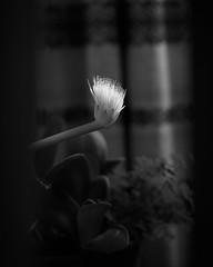 Topfpflanzenblüte (richard.kralicek.wien) Tags: flowers blackandwhite