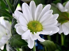 Atlantis White (rustyruth1959) Tags: closeup macro bunch leaf bloom petals plant nature white whiteflower atlantiswhite daisy pompom chrysanthemumdaisy chrysanthemum chrysanthemumpompom flower indoor home yorkshire england uk sigma105mmmacro nikond5600 nikon getty