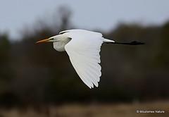 0S8A9979. Great Egret (Egretta alba) (Nick Ransdale (http://www.nick-ransdale.com/)) Tags: egrettaalba greategret