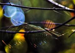 cobweb (adenkis) Tags: natureinfocusgroup saariysqualitypictures macro macrophotography cobweb bokeh nature naturephotography