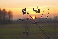 Sonnenuntergang- Sunset-coucher du soleil-puesta del sol-solis occasum (olds.wolfram) Tags: sonnenuntergang sunset pflanze gras grün sonne baum puesta del sol coucher du soleil solis occasum