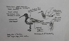 Curlew Sandpiper (Calidris ferruginea) 05-18-1992 Hart-Miller Island, Baltimore Co. MD (Birder20714) Tags: birds maryland shorebirds scolopacidae calidris ferruginea