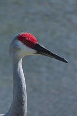 Sandhill Crane (sr667) Tags: sandhillcrane birds florida usa antigonecanadensis animalia chordata aves gruiformes gruidae antigone acanadensis