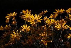 Sin comentarios, por el amarillo, por la Flor - Flower ahí esta.- (angelalonso4) Tags: canon eos 7d mark ii tamron 16300mm f3563 di vc pzd b016 ƒ160 3000 mm 180 100 orange yellow