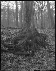 strong roots 1 (salparadise666) Tags: nagaoka 4x5 schneider symmar 135mm fomapan 200160 orange filter caffenol cl 1h semistand nils volkmer large format analogue film view camera nature wood roots tree portrait detail vertical hannover region lower saxony germany