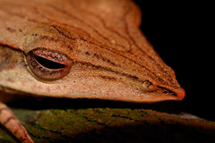 Long-snouted Tree-frog Portrait (Gomen S) Tags: animal wildlife nature frog amphibian macro 105mmmicro d500 nikon srilanka night forest 2018 herp