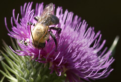 Bee on Thistle flower 2 (Largeguy1) Tags: pink macro flower bee insect canon 5d mark ii
