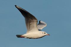 Gabbiano comune (chroicocephalus ridibundus) (Paolo Bertini) Tags: gabbiano comune chroicocephalus ridibundus blackheaded gull sirmione brescia garda lake lago birdwatching birding